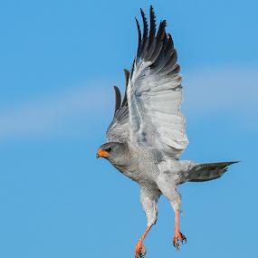 Chanting Goshawk by Rian Van Schalkwyk - Animals Birds ( flying, chanting goshawk, etosha, raptor,  )
