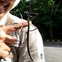 Walkingstick Insect