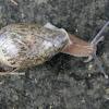Land Snail (Nicaragua)