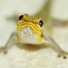 Yellow-headed Dwarf Gecko