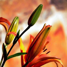 Orange lily by Orkidea W. - Flowers Flower Gardens ( orange, macro, lily, orkidea, photography )