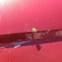 Araña verde común / Cucumber green spider