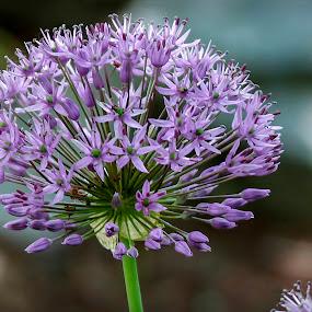 Purple Flower by Sharon Horn - Flowers Flowers in the Wild ( wild flower, purple, wildflower, flower, purple flower )