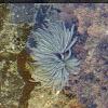 Fan worm (feather duster worm)