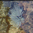 Fan worm (feather duster worm)
