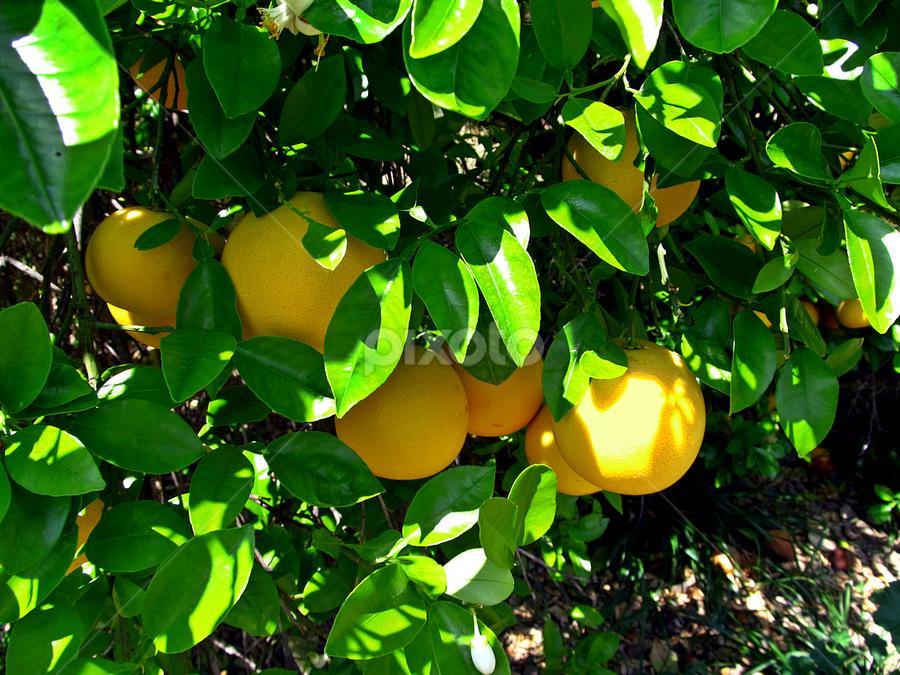by Tony Huffaker - Nature Up Close Gardens & Produce ( product, fruit, tree, orchard, harvest, grapefruit,  )