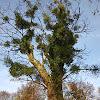 European Mistletoe ( misaplied: witche's broom)