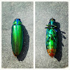 jewel beetle / wood borer