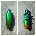 jewel beetle / wood borer