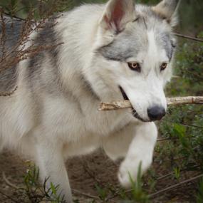 by Viks Pix - Animals - Dogs Playing ( play, malamute, #garyfongpets, husky, grass, #showusyourpets, gsd, stick, run, park, walk )