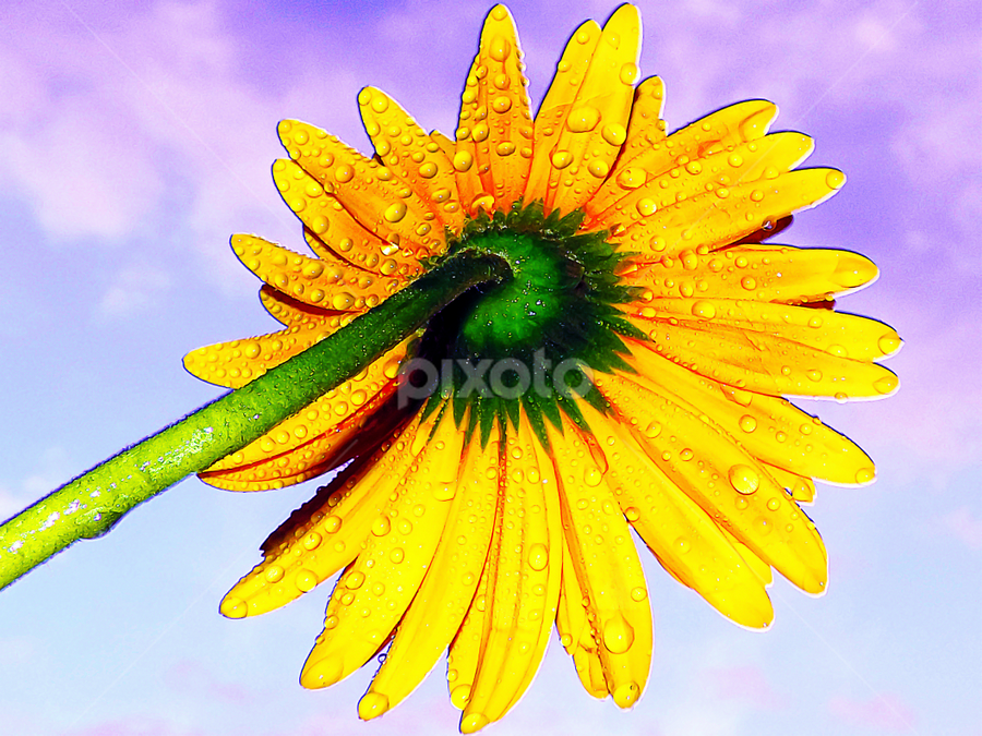 yellow gerber by LADOCKi Elvira - Flowers Single Flower ( nature, flowers, garden )