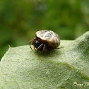 Phoroncid spider