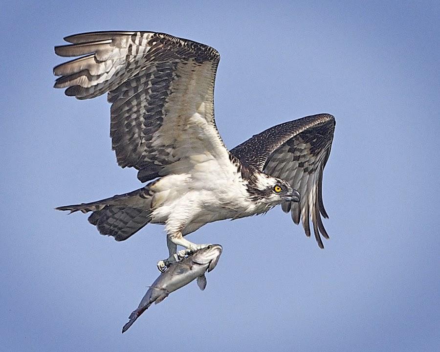 Osprey Flight Formation Whopper Catch Beauty  by Leslie Reagan - Animals Birds ( bird, nature, fish, raptor, birdinflight, bird in flight, osprey,  )