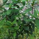 Victorian Christmas Bush (Prostanthera lasianthos)