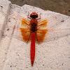 Scarlet Dragonfly. Libélula roja alas amarillas
