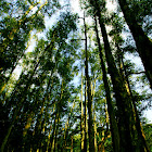 Paper-bark tree, Cajuput-tree (白千層,瓶刷子樹,白油樹)