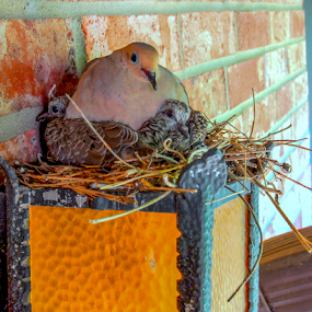 Momma and Babies by Dave Clark - Nature Up Close Hives & Nests ( bird, babies, nest, dove,  )