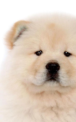 Chow Chow Cute Wallpapers