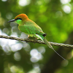 Green Bee eater by Asim Mandal - Animals Birds