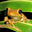 Sri Lanka Whipping frog
