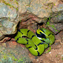 Green Keelback - Juvenile snake