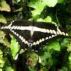 Heraclides. Mariposa, borboleta, butterfly