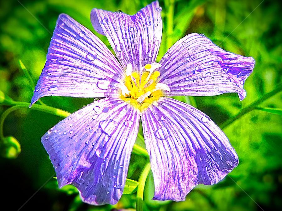 purple flower by LADOCKi Elvira - Flowers Single Flower ( nature, color, owers, garden )