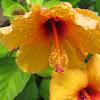 Orange Hibiscus