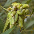 Acacia melanoxylon gall midge (galls)