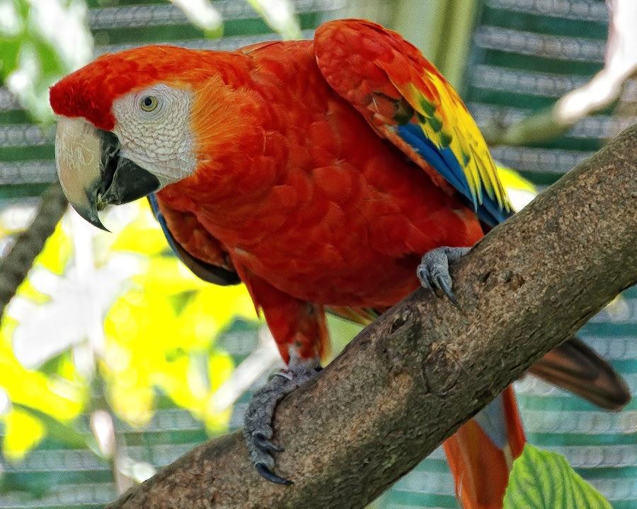 red by Gene Van - Animals Birds (  )