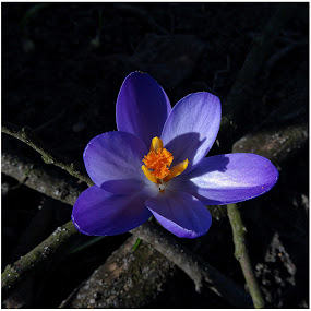 Crocus by Doreen L - Flowers Flowers in the Wild (  )