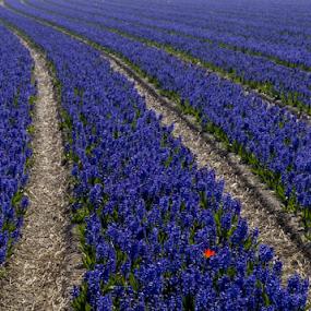 by BertJan Niezing - Flowers Flower Gardens ( field, summer, netherlands, flower, sun,  )