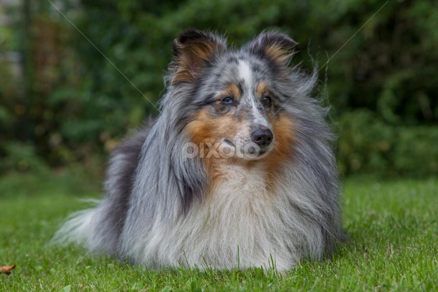 Sheltie  by 'Monique Smit - Animals - Dogs Portraits