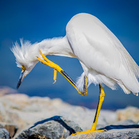 To Be Or Not To Be by Linh Tat - Animals Birds ( scratch, bird, nature, blue, white, egret,  )