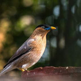 Brahminy starling by Brijesh Meena - Animals Birds ( brahminy myna, brahminy starling, indian, wildlife, birds,  )