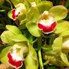 Koushu Dream Orchid