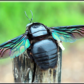 belakang kumbang by Hasan As'ari - Animals Insects & Spiders