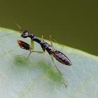 Ant mimic praying mantis nymph