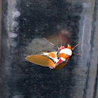 another Candy moth