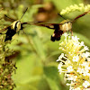 Snowberry clearwing moth with hummingbird clearwing moth
