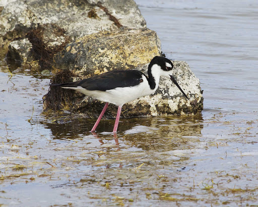 black-necked-stilt-grand-turk - A black-necked stilt on Grand Turk Island.