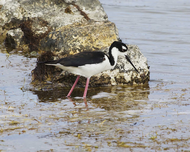 A black-necked stilt on Grand Turk Island.
