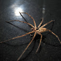 Brown Huntsman spider or Laya