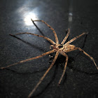 Brown Huntsman spider or Laya