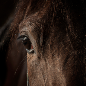 Timid eye by Jasna Petrovic-Zivkovic - Animals Horses ( eye horse brown shine animal,  )