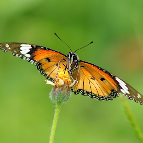 Butterfly by Assaifi Fajarmass - Animals Insects & Spiders ( butterfly, macro photography, close up )