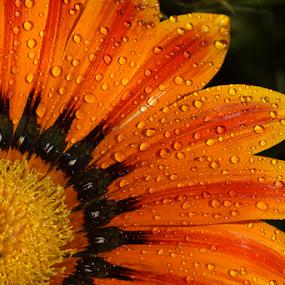 by Bharat Dudeja - Flowers Single Flower ( macro, gazania, nature, aster, daisy, flower, droplets,  )