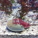 Horse shoe crab