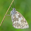 Marbled White (female) -  Demi-deuil