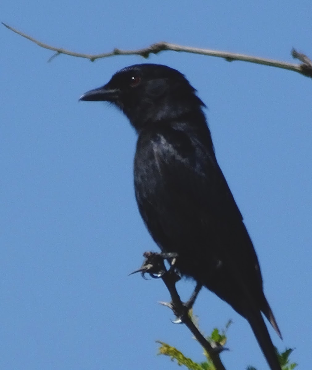 Forktail drongo